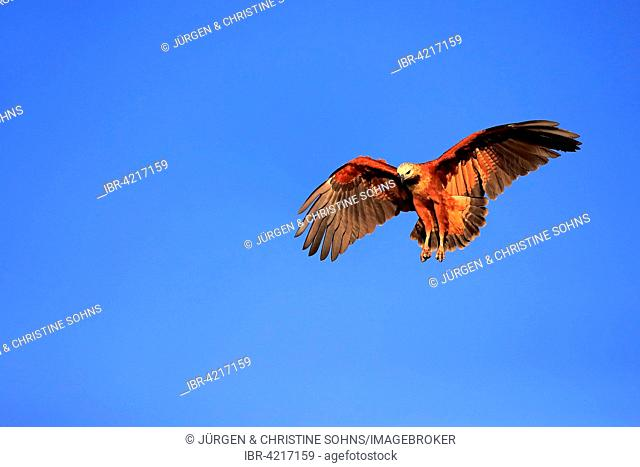 Black-collared hawk (Busarellus nigricollis), adult, flying, Pantanal, Mato Grosso, Brazil