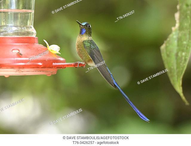 Violet-tailed sylph hummingbird (Aglaiocercus coelestis), Bellavista Cloud Forest Reserve, Mindo, Ecuador