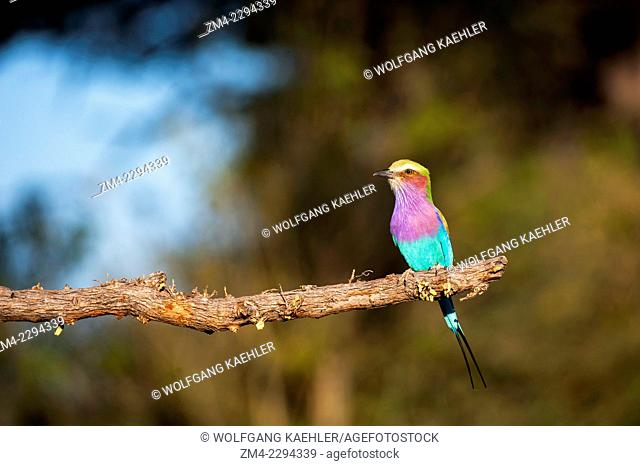 A Lilac-breasted Roller (Coracias caudatus) perched on a tree near Chitabe in the Okavango Delta in northern part of Botswana