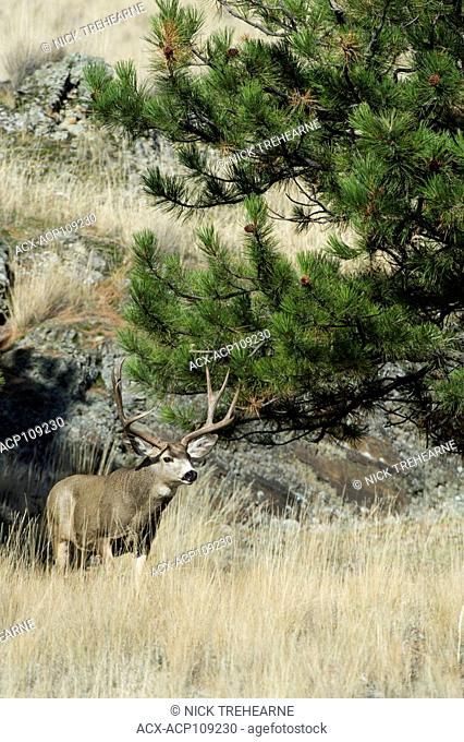 Male Mule Deer, Odocoileus hemionus, Central Montana, USA