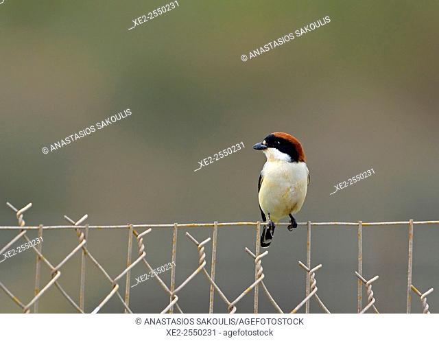 Woodchat Shrike - Lanius senator, Crete
