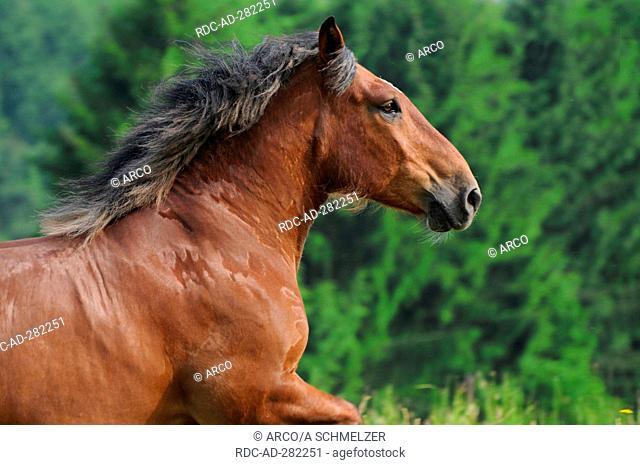 Pfalz-Ardenner Heavy Draught, gelding / Draught Horse, Draft Horse, side