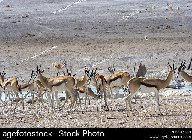 Springboks (Antidorcas marsupialis) at a waterhole in Etosha National Park in northwestern Namibia