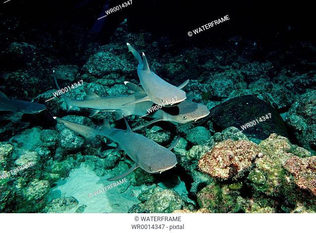 Whitetip Reef sharks hunting at Night, Triaenodon obesus, Cocos Island, Pacific, Galapagos, Ecuador