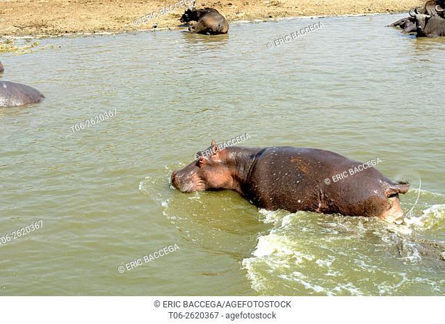 Hippopotamus (Hippopotamus amphibius) defecating in Lake Edward, Queen Elizabeth National Park, Uganda, Africa