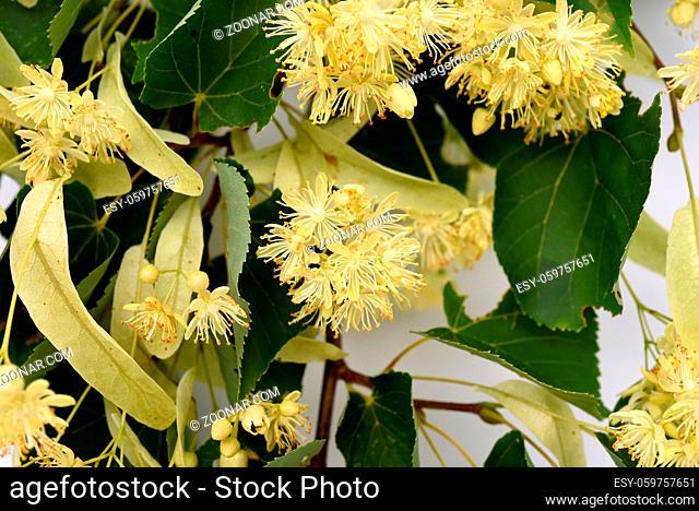 Lindenblueten, Tilia, platyphyllos, Blueten