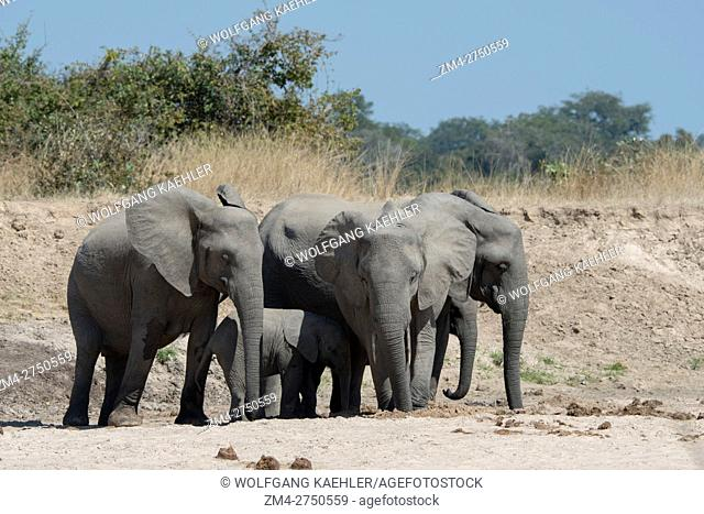 African elephants (Loxodonta africana) with baby digging for water and drinking in a dry riverbed in South Luangwa National Park in eastern Zambia