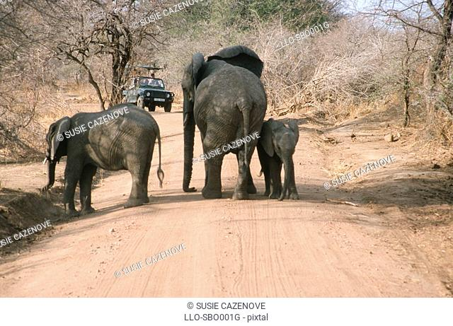 Rear View of Elephant's  Loxodonta africana  on Dirt Road  Botswana, Africa