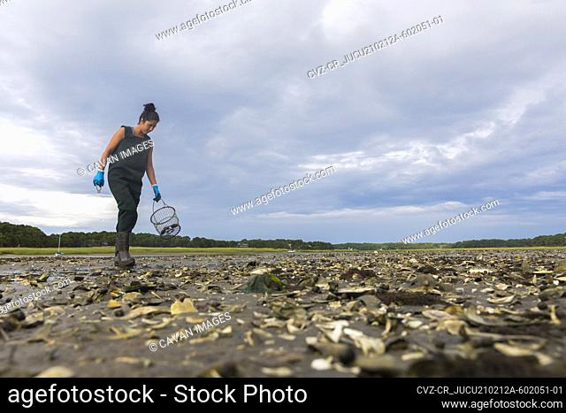 Asian woman in waders searches for oysters at low tide in Wellfleet