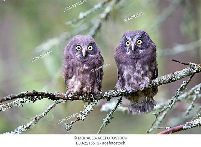 Europe, Finland, Kuhmo area, Kajaani, Boreal owl or Tengmalm's owl (Aegolius funereus), two youngs just after they left the nest, perched on a branch