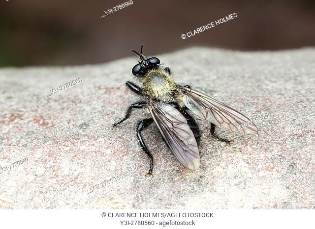 A Bee-like Robber Fly (Laphria flavicollis) perches on the trunk of a fallen dead oak tree