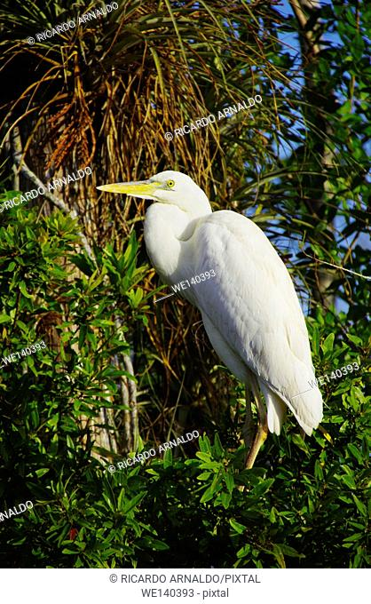 Egret in Big Cypress Swamp