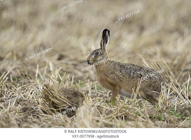 Attentive Brown Hare / European Hare ( Lepus europaeus ) sits in a stubble field, harvested field, wildlife, Europe
