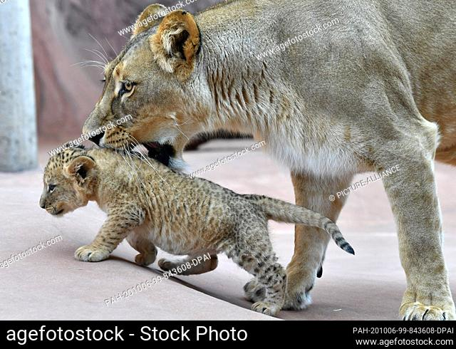 06 October 2020, Thuringia, Erfurt: One of the three baby lions and the lion mother Bastet show themselves in the lion savannah in the Thuringian zoo park