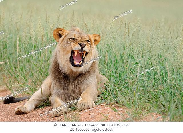 Lion, Panthera leo, roaring, Kgalagadi Transfrontier Park, Northern Cape, South Africa