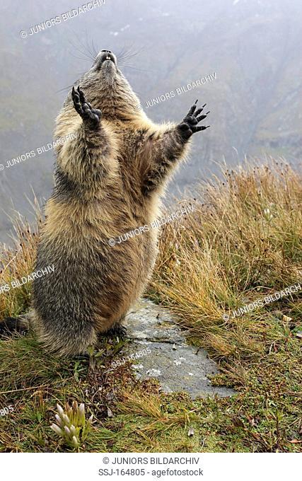 Alpine Marmot - standing / Marmota marmota