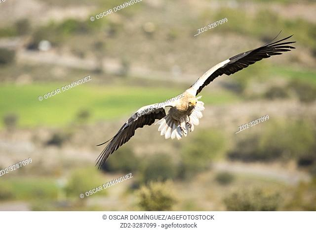 Egyptian vulture (Neophron percnopterus) in flight. Pre-Pyrenees. Lleida province. Catalonia. Spain. Endangered species
