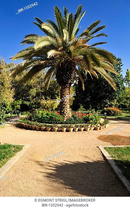 Date palm at Bagh-e Eram garden, Shiraz, Fars, Persia, Iran, Asia