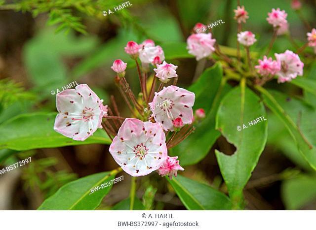 mountain laurel (Kalmia latifolia), inflorescence, USA, Tennessee, Great Smoky Mountains National Park