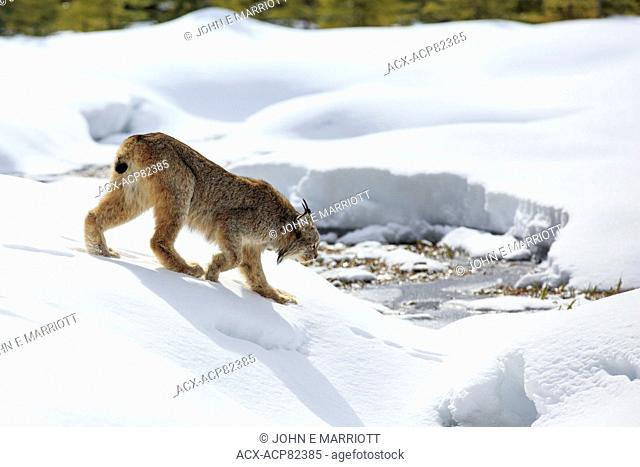 Wild lynx following hare tracks in Banff National Park