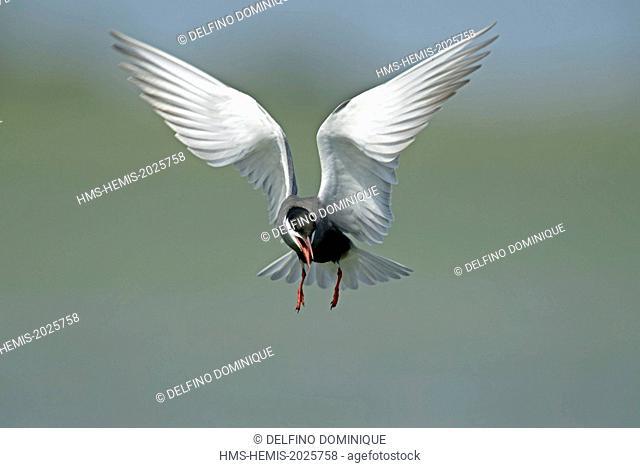 Romania, Danube Delta listed as World Heritage by UNESCO, Whiskered Tern (Chlidonias hybrida) in flight the approach its nest