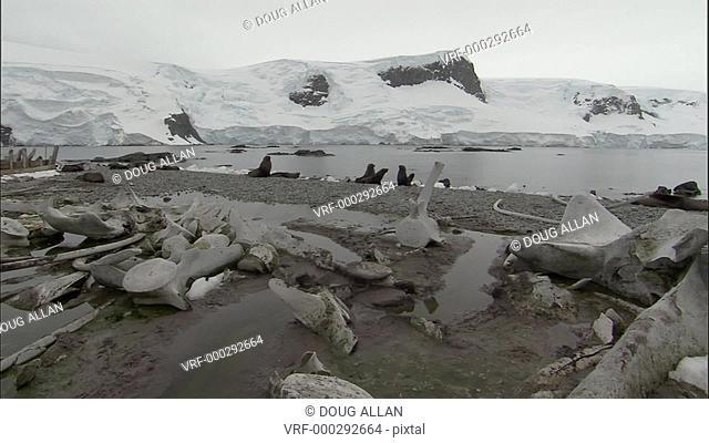 Antarctic fur seals (Arctocephalus gazella), whale bones, old whaling boat and gentoo penguins
