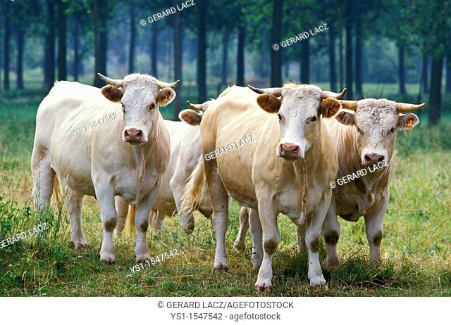 Charolais Cattle, a French Breed, Herd