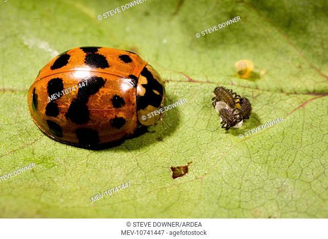 Adult Harlequin Ladybird with newly hatched larvae and eggs. (Harmonia axyridis)