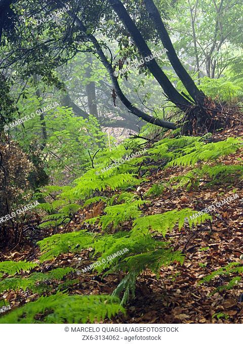 Ferns (Pteridium aquilinum) and Holm oak trees (Quercus ilex) at Coll Sobirana site. Montseny Natural Park. Barcelona province, Catalonia, Spain
