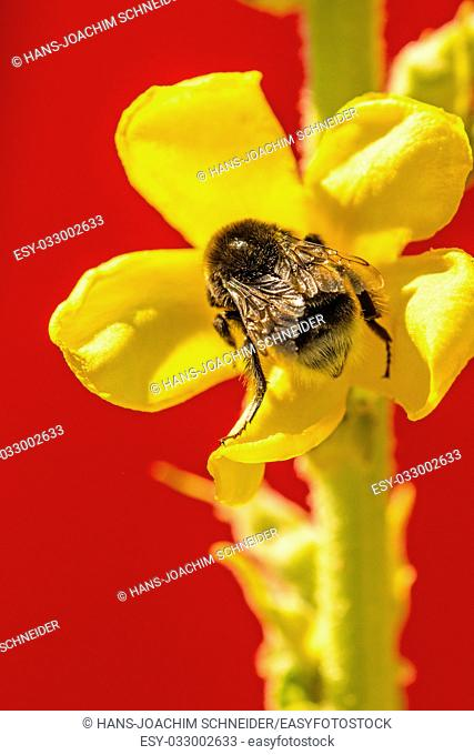 Great mullein medicinal plant with flower and humble-bee in Germany