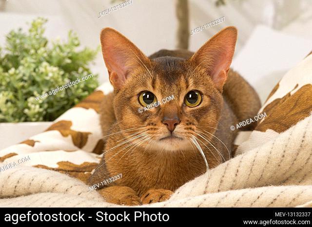 Abyssinian cat indoors