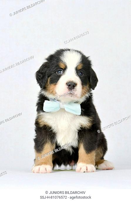 Bernese Mountain Dog. Puppy (5 weeks old) sitting, wearing turquoise bow tie. Studio picture. Germany