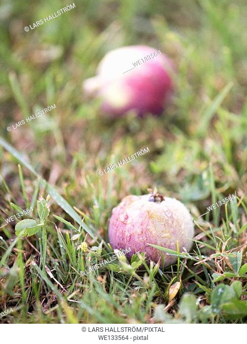 Two fallen apples on wet autumn grass
