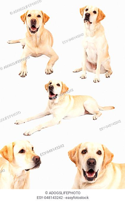 Series of images of a beautiful purebred yellow Labrador Retriever dog in different positions