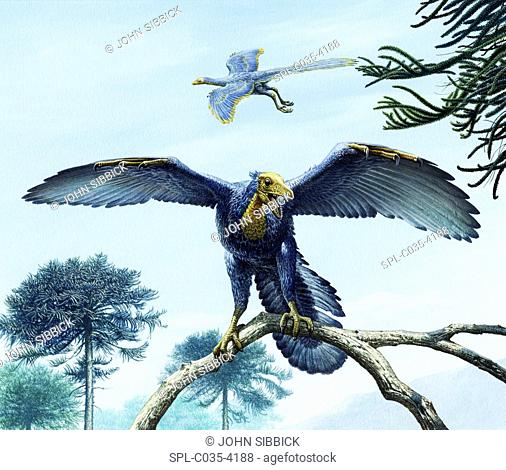 Archaeopteryx bird-like dinosaurs, illustration. Eleven specimens of Archaeopteryx have been found, all from the Solenhofen limestones of the Late Jurassic...