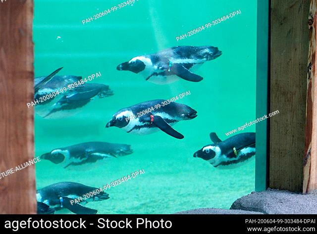 04 June 2020, North Rhine-Westphalia, Gelsenkirchen: Spectacled penguins dive through the water in their new, near-natural facility