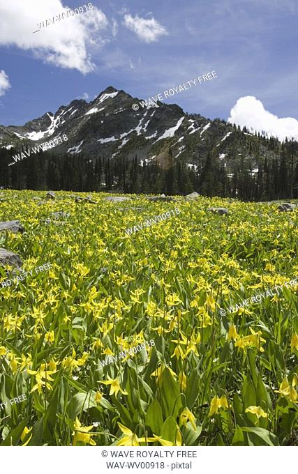 Glacier lilies carpet the alpine meadows in the Steeples Range, East Kootenays, near Cranbrook, British Columbia, Canada