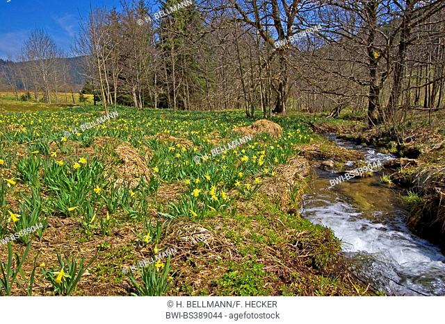 common daffodil (Narcissus pseudonarcissus), blooming in a meadow at a creek, Germany