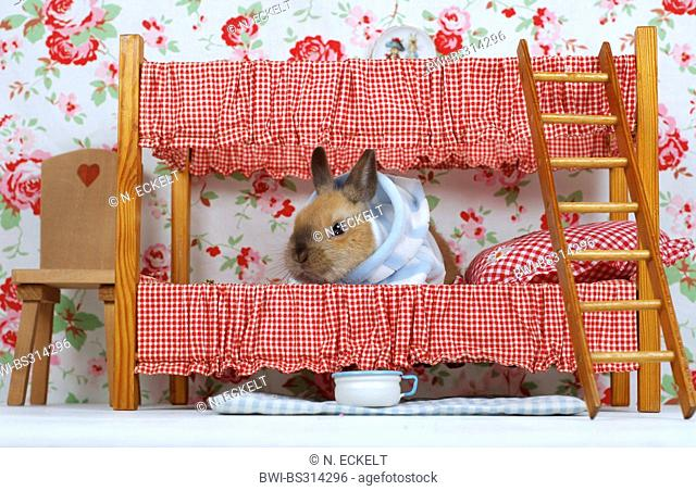 Netherland Dwarf (Oryctolagus cuniculus f. domestica), young rabbit wearing a pyjama sitting in a bunk bed of a dollhouse
