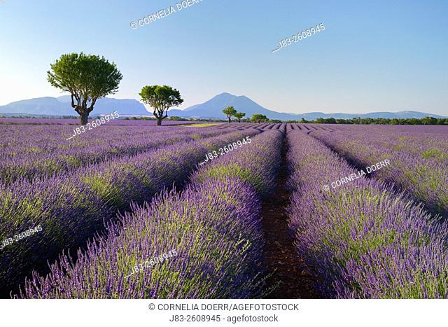Rows of Lavender field (Lavendula augustifolia) and trees in background, Valensole, Plateau de Valensole, Alpes-de-Haute-Provence, Provence-Alpes-Cote d'Azur