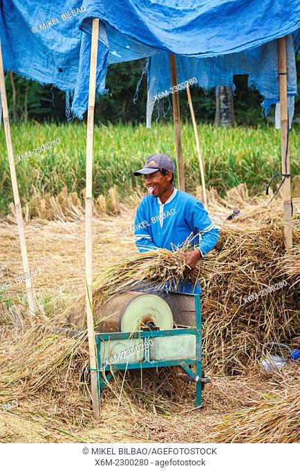 Man working in a rice field near the city of Yogyakarta. Java. Indonesia, Asia