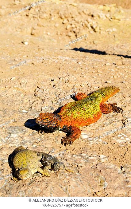 Male (red), female and baby of Spiny-tailed lizard,Spiny tailed Agamid, (Uromastyx acanthinurus)Morocco,Africa