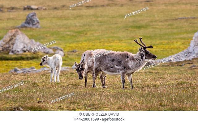 Spitsbergen, Svalbard, Isfjord, tundra, reindeers