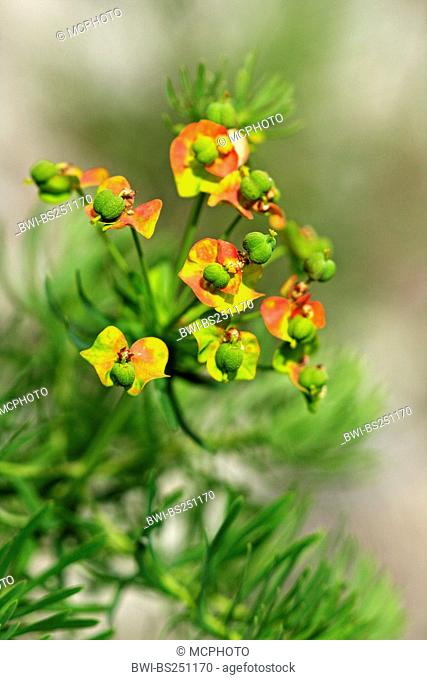 cypress spurge Euphorbia cyparissias, inflorescence, Switzerland, Valais