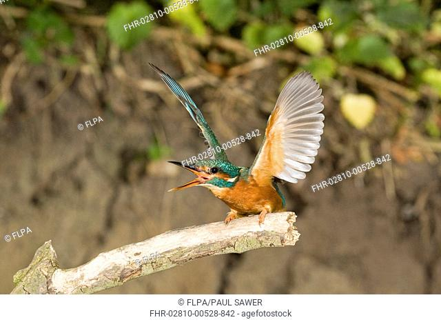 Common Kingfisher Alcedo atthis adult female, in threat display towards rival, Suffolk, England, may