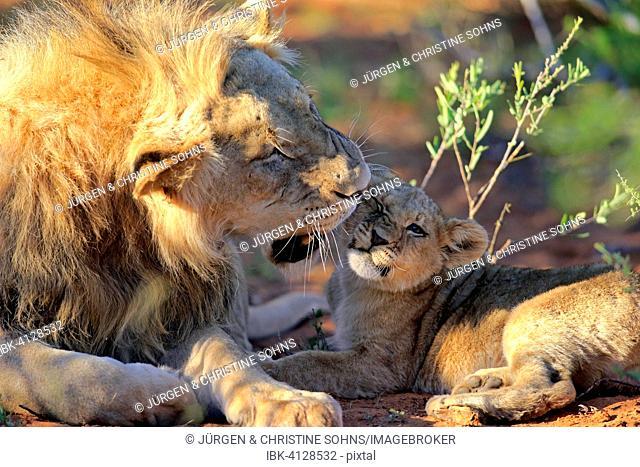 Lion (Panthera leo), male and cub, four months Tswalu Game Reserve, Kalahari Desert, South Africa