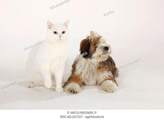 British Shorthair Cat tomcat white blue-eyed Tibetan Terrier puppy 4 months