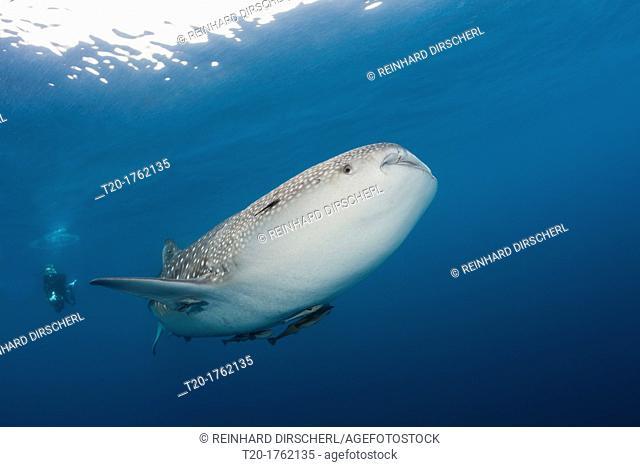 Whale Shark, Rhincodon typus, North Male Atoll, Indian Ocean, Maldives