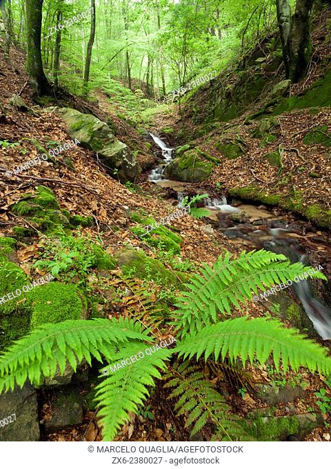 Male fern (Dryopteris filix mas) at Boixaus stream. Springtime at Montseny Natural Park. Barcelona province, Catalonia, Spain