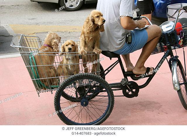 Tricycle, three cocker spaniels, basket. Ocean Drive, South Beach, Miami Beach, Florida. USA